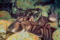 Port Jackson shark, Heterodontus portusjacksoni, Australia