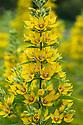 Lysimachia vulgaris, mid June. Common names include Garden Loosestrife, Yellow Loosestrife, and Garden Yellow Loosestrife.