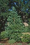 10663-CD Japanese Larch, Larix kaempferi, deciduous conifer, at Morning Cloak Ranch, Tehachapi, CA USA