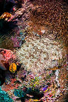A Tasselled wobbegong, Eucrossorhinus dasypogon, lies in a hole beneath a coral bommie. Above the carpet shark swims a school of Golden sweepers, Parapriacanthus ransonneti. Raja Ampat, Papua, Indonesia, Pacific Ocean