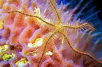 Sponge brittle star, Ophiothrix suensonii, drapes across an azure vase sponge, Callyspongia plicifera, Navassa Island Wildlife Refuge, Haiti