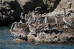 Sea of Cortez, Baja California, Mexico; a flock of Brown Pelican (Pelecanus occidentalis) birds on the rocky shoreline