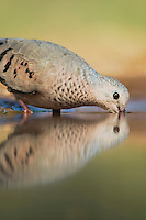 Common Ground-Dove, Columbina passerina, adult drinking, Rio Grande Valley, Texas, USA
