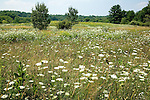 Wildflower meadows attract migrating songbirds at the Bellamy River WMA in Dover, Seacoast Region, NH