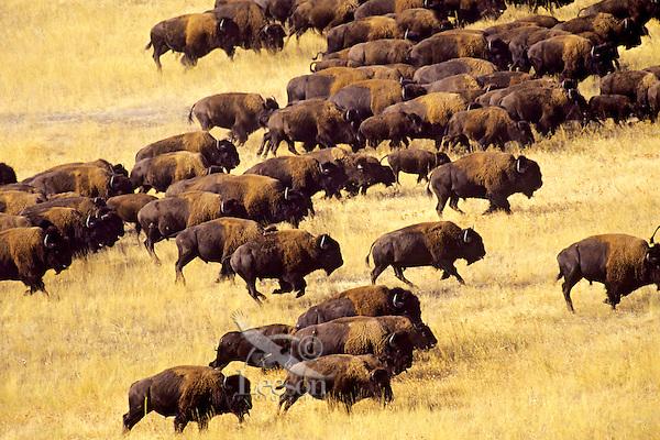 Bison herd (Bison bison), National Bison Range, MT.