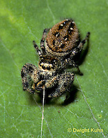JS03-008a  Jumping Spider - using drag line -  Phidippus clarus