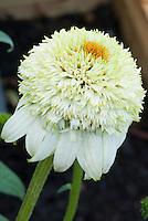 Double white flowers of Echinacea purpurea 'Milk Shake' aka 'Milkshake'