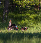 Tom turkey displaying for a hen in northern Wisconsin.