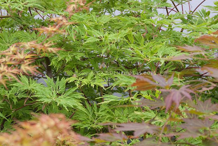 Acer japonicum 'Harvest Moon' in spring