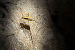 Long-legged Centipede (Scutigera sp.) in Gomantong Caves, Sabah, Borneo.