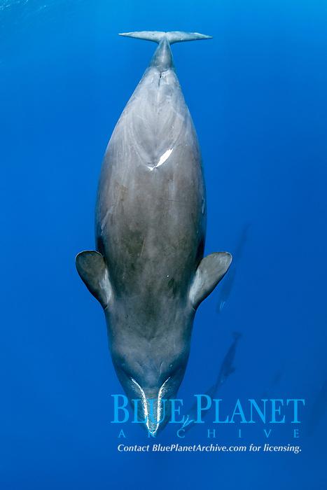 sleeping sperm whales, Physeter macrocephalus, Dominica, Caribbean Sea, Atlantic Ocean, photo taken under permit n°RP 16-02/32 FIS-5