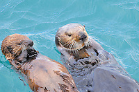 Alaskan or Northern Sea Otter (Enhydra lutris) mother and pup feeding.
