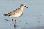 USA, Fl, Naples, Black-bellied Plover, (Pluvialis squatarola)