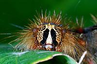 Schwammspinner, Raupe, Schwamm-Spinner, Lymantria dispar, gipsy moth, Gypsy Moth, caterpillar, le Bombyx disparate, Trägspinner, Lymantriidae