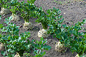 Rows of celeriac 'Prinz', late September.