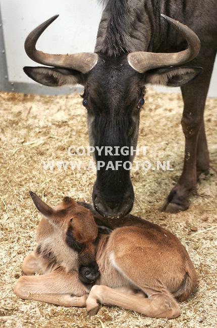 Arnhem, 231105<br /> In de gloednieuwe stallen voor Savannedieren van Burgers zoo is gisteren het eerste jong geboren; een blauwe gnoe. Het geslacht is nog niet te zien geweest. Het beestje is vanaf zaterdag te zien voor het publiek. <br /> Foto: Sjef Prins - APA Foto