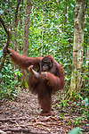 Orangutan checks out his foot by Sergey Savvi