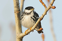 Adult male Blackpoll Warbler (Dendroica striata) in breeding plumage. Seward Peninsula, Alaska. June.