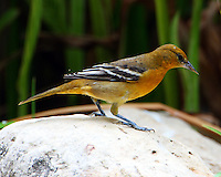 First fall male Baltimore oriole