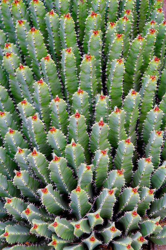Cactus (Euphorbia resinifera) in Tucson Botanical Gardens. Tucson. Arizona
