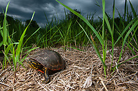 Female Painted Turtle (Chrysemys picta) in search of a nesting site in Southern Minnesota. Photo by James R. Evans