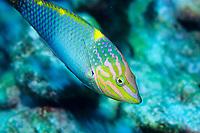 Checkerboard wrasse, Halichoeres hortulanus, Pohnpei, Micronesia, Pacific Ocean