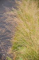 Yellow fall, autumn color of fragrant Prairie dropseed grass (Sporobolus heterolepis) Wisconsin front yard meadow garden