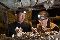 Europe/France/Rhône-Alpes/74/Haute-Savoie/Annecy: Stéphane Dattrino  restaurant: L'Esquisse,  choisit ses champignons chez Madame Audouit dans sa champignonnière de Lovagny ou elle cultive  champignon de Paris, la pleurote et le shii-take. Le travail y est resté traditionnel, sans serre climatisée, grâce à ces galeries idéales en température et en humidité.<br /> Champignonnière en activité, située dans les anciennes mines d'asphalte <br />  [Non destiné à un usage publicitaire - Not intended for an advertising use]