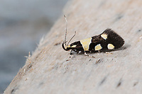 Birken-Faulholzmotte, Birkenfaulholzmotte, Faulholzmotte, Eratophyes amasiella, Eratophyes aleatrix, Faulholzmotten, Oecophoridae