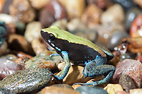 Blue-legged Mantella, Mantella expectata, endangered species, endemic to Madagascar, (c)