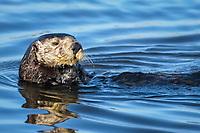 Southern sea otter or California sea otter Enhydra lutris nereis, Monterey Bay National Marine Sanctuary, Monterey, California, USA, Pacific Ocean