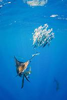 Atlantic sailfish, Istiophorus albicans, knocks one fish out of a bait ball of Spanish sardines (aka gilt sardine, pilchard, or round sardinella), Sardinella aurita, off Yucatan Peninsula, Mexico (Caribbean Sea) #1 in sequence of 3 images