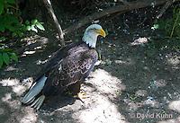 1206-1003  Bald Eagle, Haliaeetus leucocephalus  © David Kuhn/Dwight Kuhn Photography