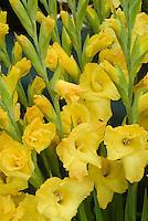 Gladiolus 'Lemon Drop' (yellow)