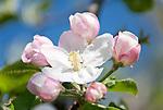 Germany, Baden-Wurttemberg, Kaiserstuhl: blossoming apple trees | Deutschland, Baden-Wuerttemberg, Kaiserstuhl: Apfelblueten