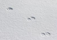 Coyote tracks dot the snows of Swan Lake Flats.
