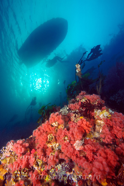 Scuba Diver and dive boat float above Pink Soft Corals (Gersemia rubiformis) adorning a reef underwater in Browning Pass, Queen Charlotte Strait, British Columbia, Canada.
