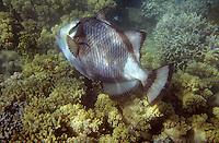 Océanie/Australie/Queensland/env de Port Douglas/Iles Douglas/Iles Low: Grande barrière de Corail