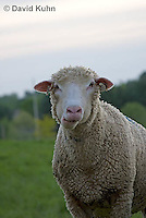 0512-0906  Sheep Chewing Cud, Dorset Ewes, Ovis aries  © David Kuhn/Dwight Kuhn Photography