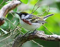 Adult female chestnut-sided warbler