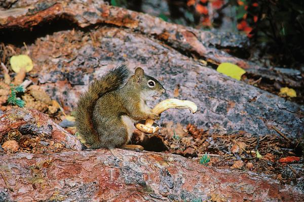 MI183  Red Squirrel eating mushroom.  Northern Rockies.  Fall.