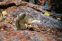 MI183  Red Squirrel eating mushroom.  Northern Rockies.  Fall.