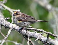 Yellow-rumped warbler, myrtle type