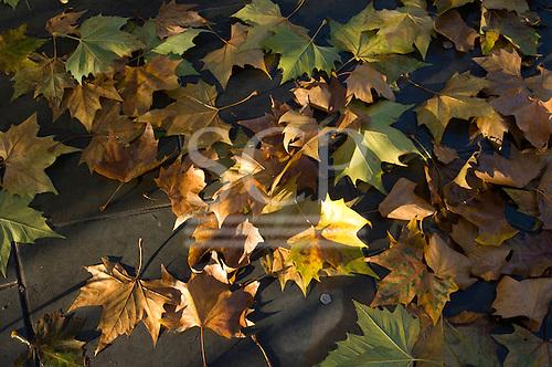 London, England. Sycamore (London Plane Tree) leaves in autumn dappled sunshine.