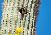 Male House Sparrow, Passer domesticus, nests in a Saguaro cactus, Carnegiea gigantea, in the Desert Botanical Garden, Phoenix, Arizona