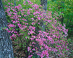 Blue Ridge Parkway, VA<br /> Pink Azalea (Rhododendron nudiflorum) against spring greens of the decidous forest