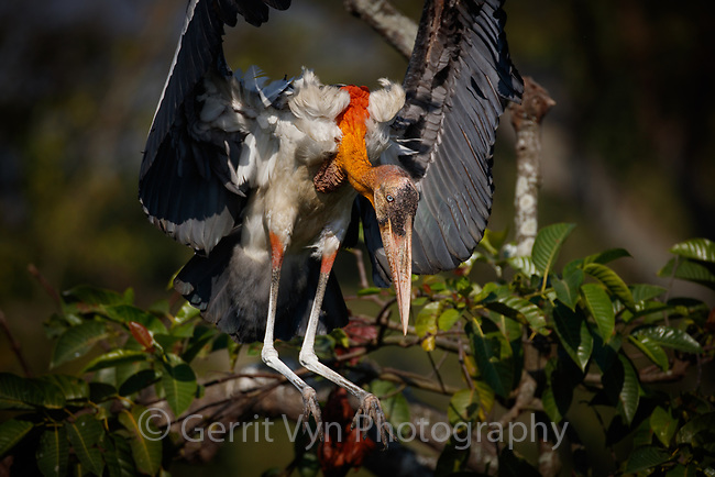 Greater Adjutant landing at nest. Dadara, Assam, India. December.
