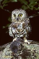 OW04-002z   Saw-whet owl - with shrew prey - Aegolius acadicus