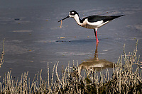 A Black-necked stilt has found something edible in the water near the Interpretive Center at the Hayware Regional Shoreline.