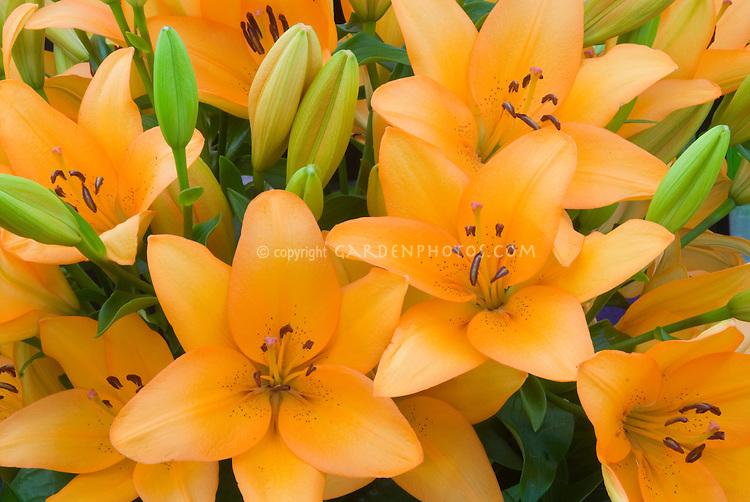 Lilium 'Advantage' (LA hybrid) lily mass of flowers and buds